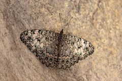 Butterfly from the species of Hamadryas amphichloe stock photos