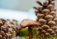 Macro cône de champignon et de pin Photos stock