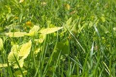 Macro caído folha do fundo do sol da grama verde Imagens de Stock