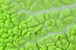 Macro cabbage leaf stock photography