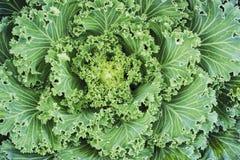 Macro cabbage ornamental in the garden. For design work Stock Photo