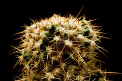 Macro cactus Royalty Free Stock Images