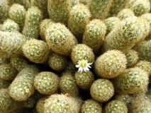 Macro Cactus Stock Image