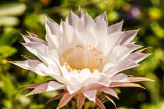 Macro of a cactus bloom Royalty Free Stock Images