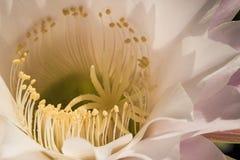 Macro of a cactus bloom Royalty Free Stock Photos