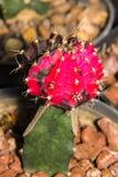 Macro cactus bloom Royalty Free Stock Photo