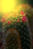 Macro of cactus flower blooming in sunset light 4 Stock Images