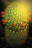 Macro of cactus flower blooming in sunset light 3 Royalty Free Stock Photography