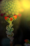 Macro of cactus flower blooming in sunset light 1 Stock Image