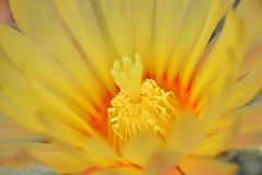 Macro cactus flower. Yellow cactus flower. It's astrophytum cactus Royalty Free Stock Image