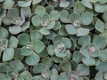 Macro cactus Royalty Free Stock Photo