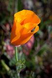 Macro of California Poppy Stock Photography