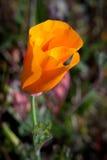 Macro of California Poppy. Macro shot of an orange California poppy wildflower Stock Photography