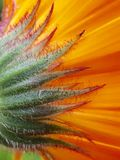 Perianth of a marigold. Macro of the calix of a calendula Royalty Free Stock Images