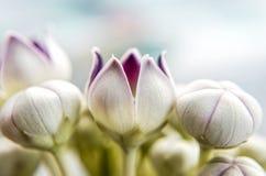 Macro calotropis milkweed flower Stock Image