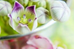 Macro calotropis milkweeds wild flower. Macro shot of calotropis milkweeds wild flower with space for text stock image