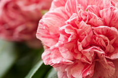Macro of Camellia. Macro of Pink Jasper Camellia petals Royalty Free Stock Photos