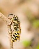 Macro. Cara de la avispa en la ramificación Fotografía de archivo libre de regalías