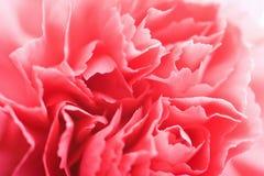 Macro of carnation flower royalty free stock photos