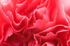Macro of carnation petals Royalty Free Stock Photography
