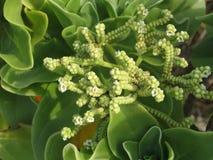Macro casera natural verde del succulent de la familia de uva de gato imagenes de archivo