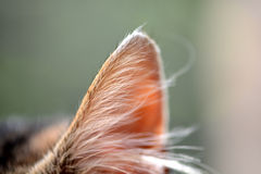 Macro cat ears Royalty Free Stock Image