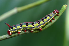 Macro caterpillar. Caterpillar on leaf Royalty Free Stock Photo