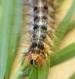 Macro of a caterpillar : Lymantria dispar royalty free stock image