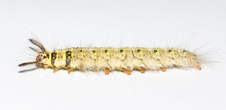 Macro of caterpillar Royalty Free Stock Images