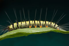 Macro of caterpillar Royalty Free Stock Photos