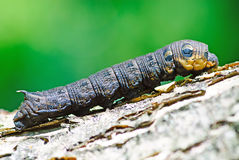 Macro caterpillaron natural background Stock Images
