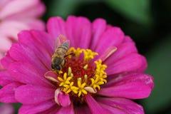 Macro of Caucasian bee Apis mellifera collecting nectar on a bri. Macro of Caucasian bee Apis mellifera with wings and proboscis collecting nectar and pollen on stock photos