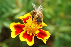 Macro of Caucasian bee Apis mellifera sitting on red-yellow flow. Macro of Caucasian brown bee Apis mellifera with antennae and wings of seated and gathering stock photography