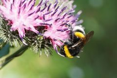 Macro of Caucasian bumblebee Bombus lucorum in search of nectar. Macro of Caucasian bumblebee Bombus lucorum hangs headfirst in search of nectar and pollen on royalty free stock photos