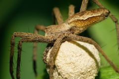 Macro of a caucasian caring spider of Lycosidae family with a yo. Macro of Caucasian caring spiderf of family Lycosidae of genus Pirata with a white cocoon of stock images