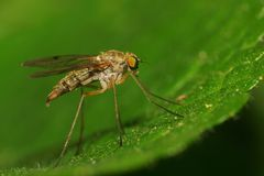 Macro of a Caucasian double-winged insect Mosquito mosquito sitt. Macro of a Caucasian double-winged insect Mosquito mosquito with long legs and reddish eyes stock images