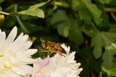 Macro Caucasian flies syrphids Eristalis on white chrysanthemum. Macro of Caucasian brown flyweight syrphids Eristalis sitting in autumn on a white chrysanthemum royalty free stock image