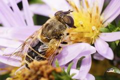 Macro of Caucasian flower flies on aster Stock Photo