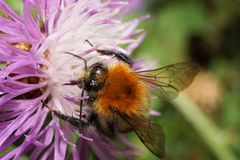 Macro of Caucasian fluffy bright orange field bumblebee Bombus p. Macro of Caucasian fluffy bright orange bumblebee Bombus pascuoruma collecting nectar on purple royalty free stock photo