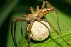 Macro of the Caucasian spider family Lycosidae with a cocoon. Macro of the Caucasian spider of the family Lycosidae of the genus Pirata with the cocoon of the royalty free stock photo