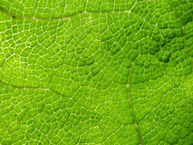 Macro of cell pattern in large green leaf Stock Photography