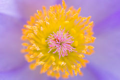 Macro center of pasque flower Royalty Free Stock Photography