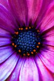 Macro of the Center of a Purple Flower. Close up photo of a purple flower with orange and blue parts in the center royalty free stock photos