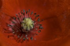 Macro of the centre details of a poppy. Stock Photos