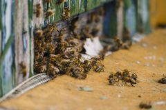 Macro cercana para arriba de abejas del vuelo delante de la colmena colorida de madera Pelotón grande del enjambre de abejas en d Fotos de archivo libres de regalías