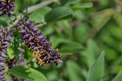 Macro cercana para arriba de la abeja de la miel que recoge el polen de la flor púrpura Fotos de archivo