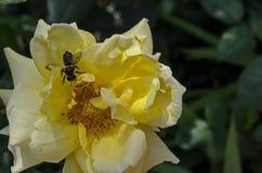 Macro cercana para arriba de la abeja de la miel que recoge el polen de la flor de la rosa del amarillo Imagen de archivo