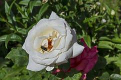 Macro cercana para arriba de la abeja de la miel que recoge el polen de la flor de la rosa del blanco Imágenes de archivo libres de regalías