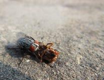 Macro cercana para arriba de la mosca doméstica que come en un insecto muerto del insecto Foto de archivo