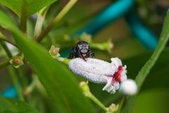 Macro cercana para arriba de una abeja negra de la miel del insecto en las hojas y las flores Imagenes de archivo